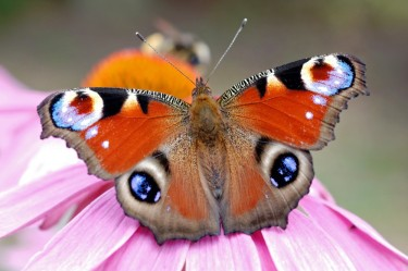 Peacock Butterfly / Tagpfauenauge (Inachis io)